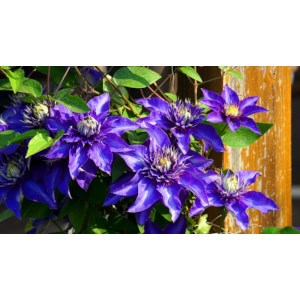Clematis The President P15cm