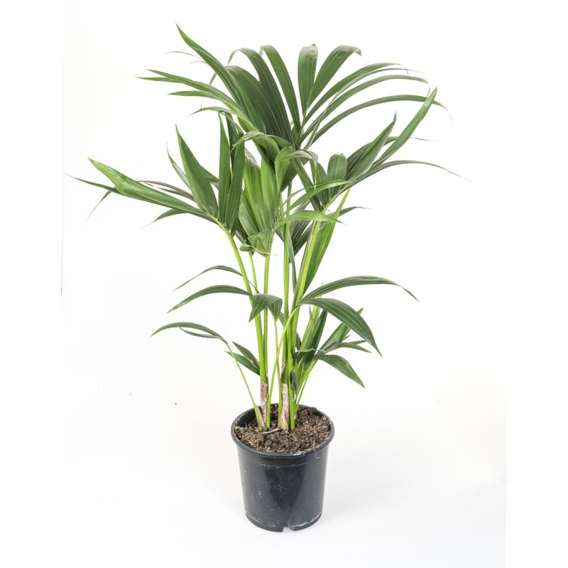 Kentia Palm - Howea Forsteriana potmaat 24cm