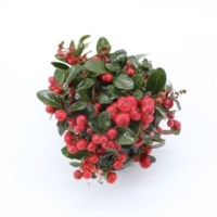 Bergthee Gaultheria Procumbens Red Diamond P10.5cm