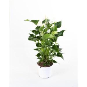 Flamingoplant - Anthurium White Champion potmaat 17cm