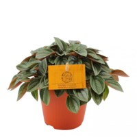 Peperomia Napoli Nights Potmaat 12cm