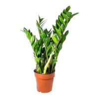 Emerald Palm - Zamioculcas potmaat 17cm
