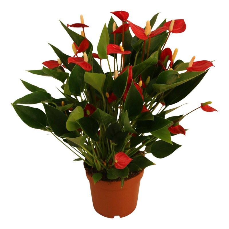 Anthurium Karma Million Flower Red potmaat 12cm