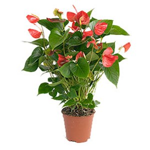 Flamingoplant - Anthurium Karma Red potmaat 17