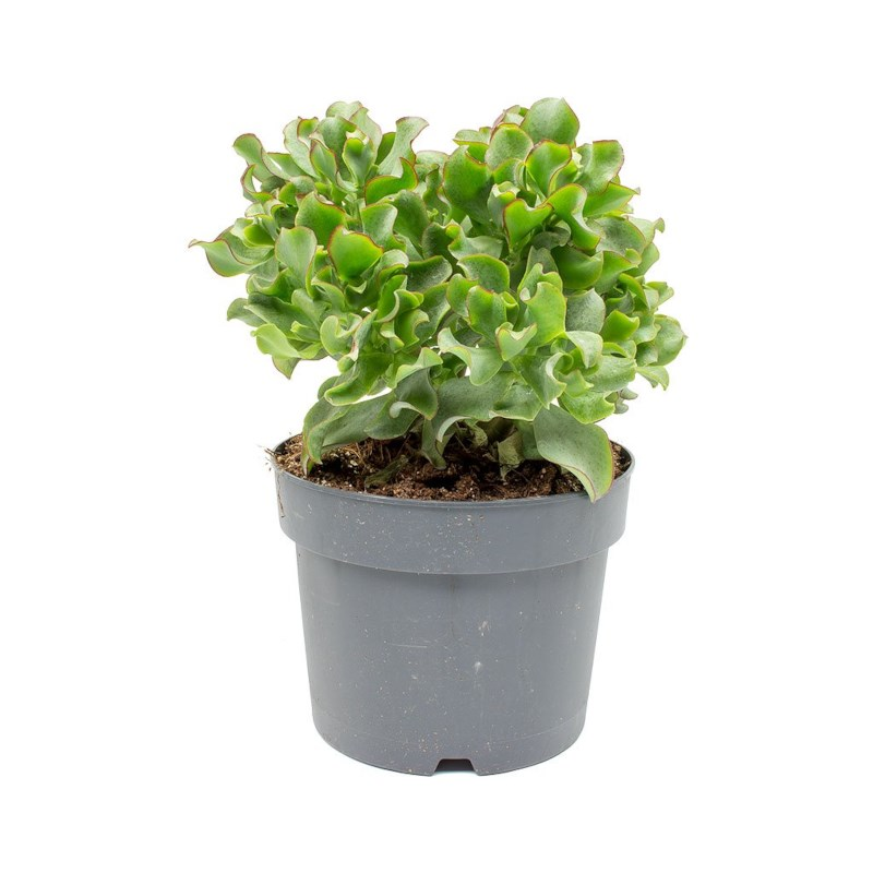 Jadeplant - Crassula Curly Potmaat 12cm
