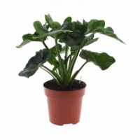 Philodendron Atom potmaat 17cm